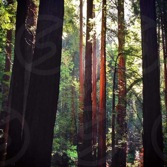Redwoods photo