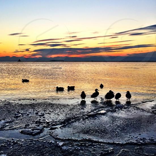 ducks on seaside photo