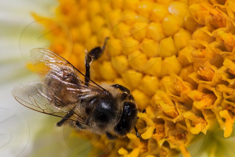 transparent wings bee flower macro photo