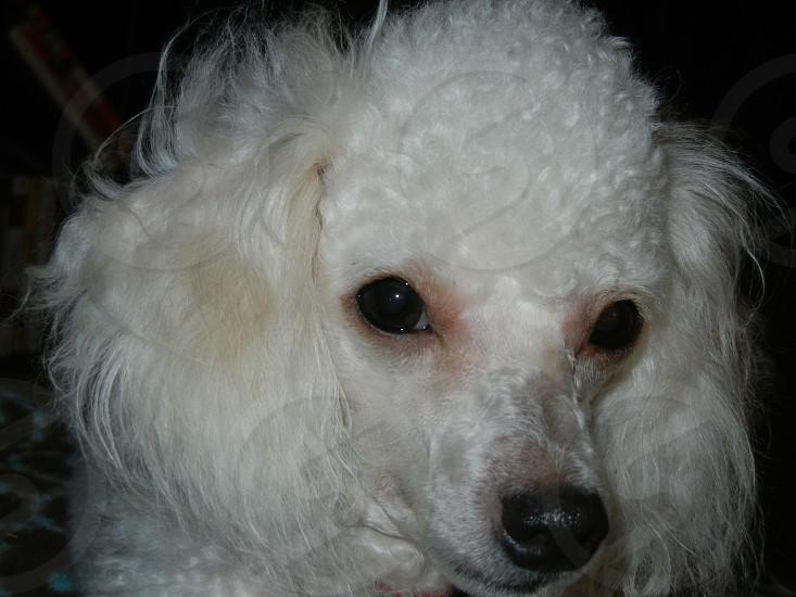 Toy Poodle Zoe photo
