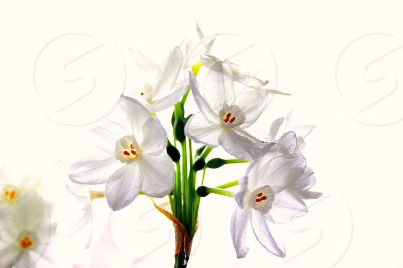 Narcissus flower in bloom photo
