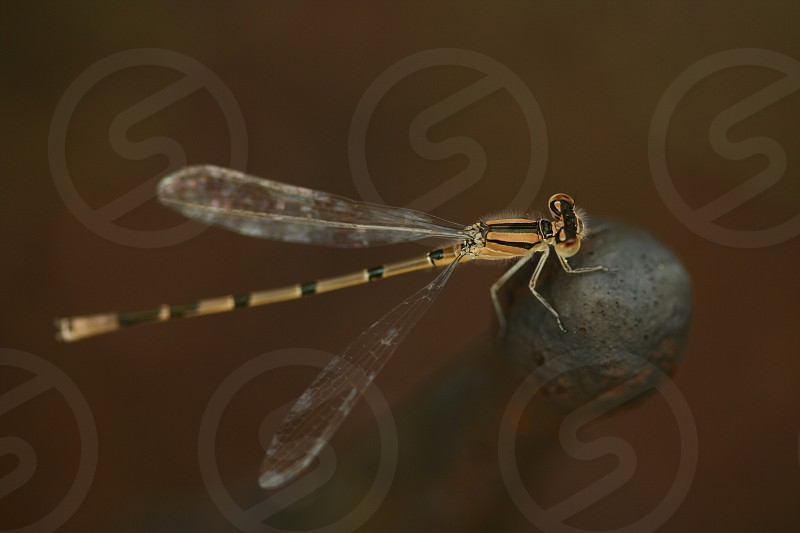 brown and black damselfly photo