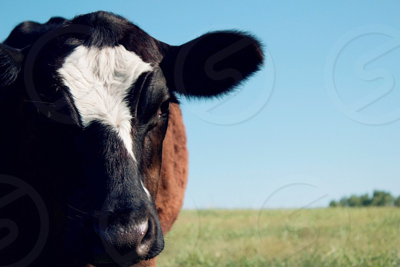 Partial closeup headshot of a brown steer with a white blaze standing in a sunny pasture blurred partial tree line on the horizon  photo