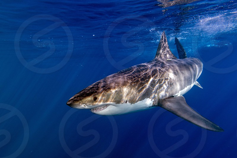 Great White shark while coming to you on deep blue ocean backgroundready to attack photo