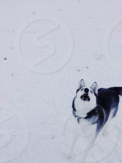 black and white siberian dog  photo