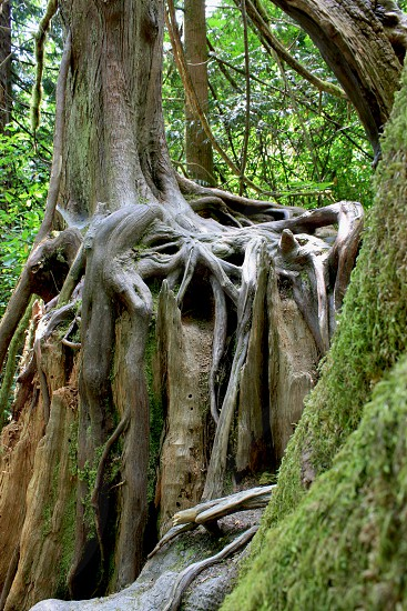 Ancient Forest. Shows green moss forest and other growth with tree growing on top of another old tree trunk.  photo