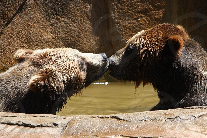 Kissing bears  photo
