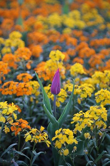 Purple orange and yellow colored flowers with  brightness in the garden photo