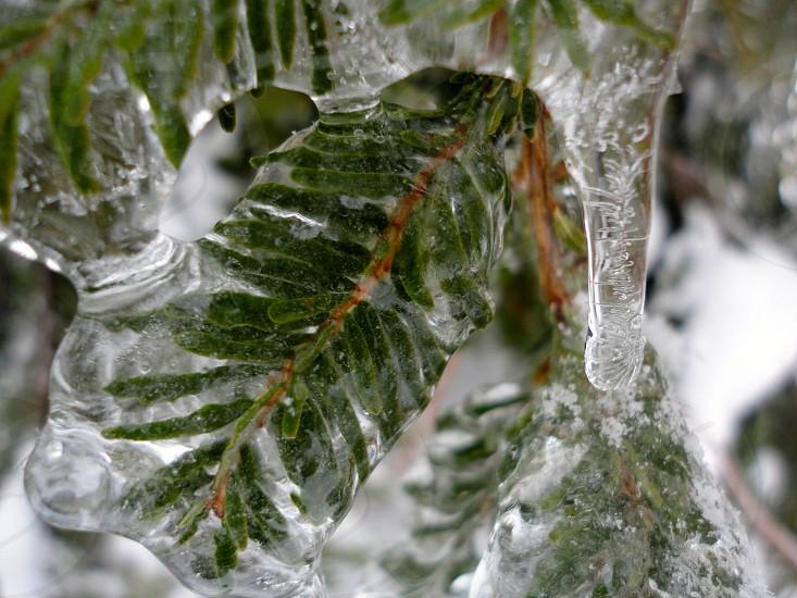Icy Pine Tree photo