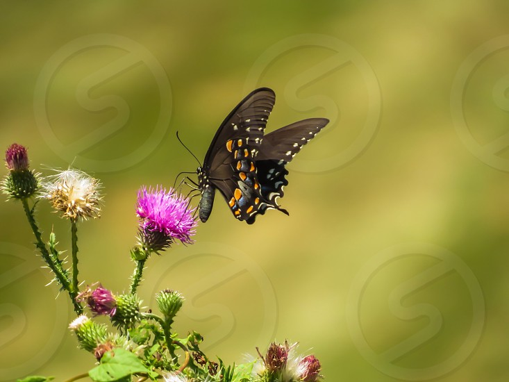 Butterfly thistle nature insect summer photo