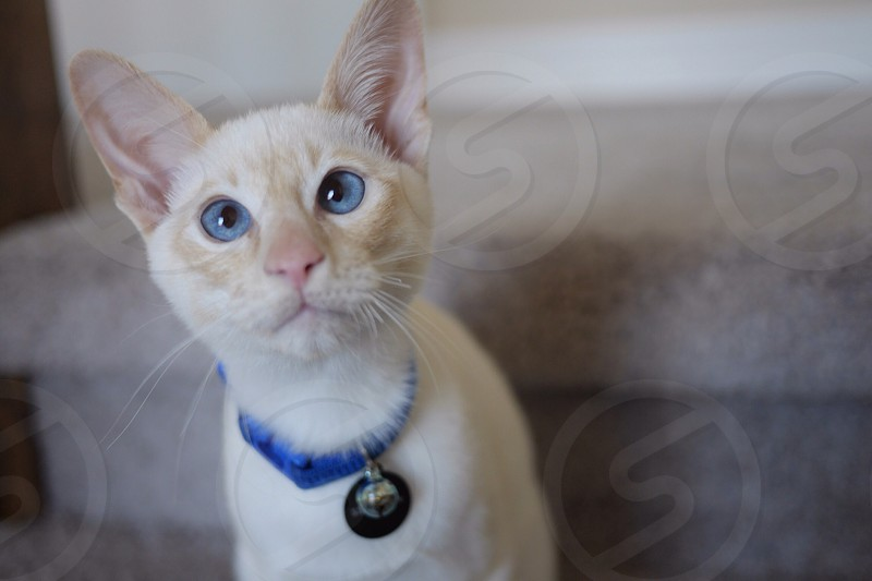 white and creme cat photo