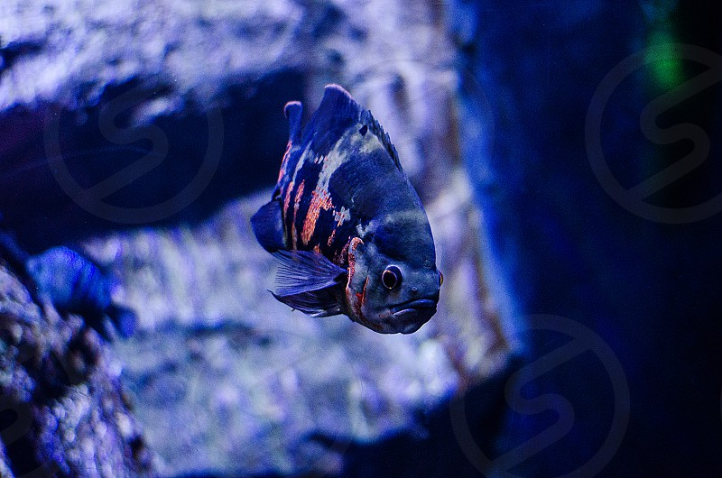 A blue fish in an aquarium in Antalya Turkey. photo