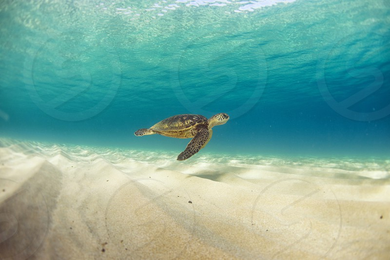 turtle swimming through clear water photo