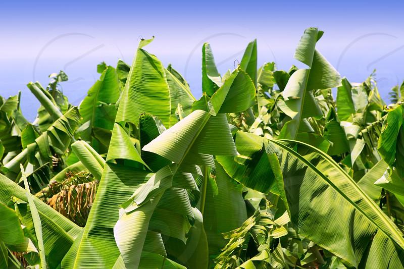 Canarian Banana plantation Platano in La Palma Canary Islands photo