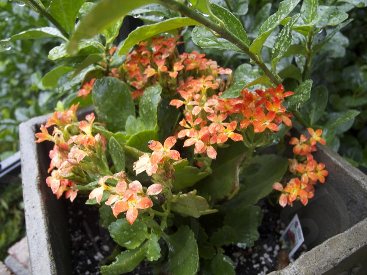 orange flowers in the rain photo