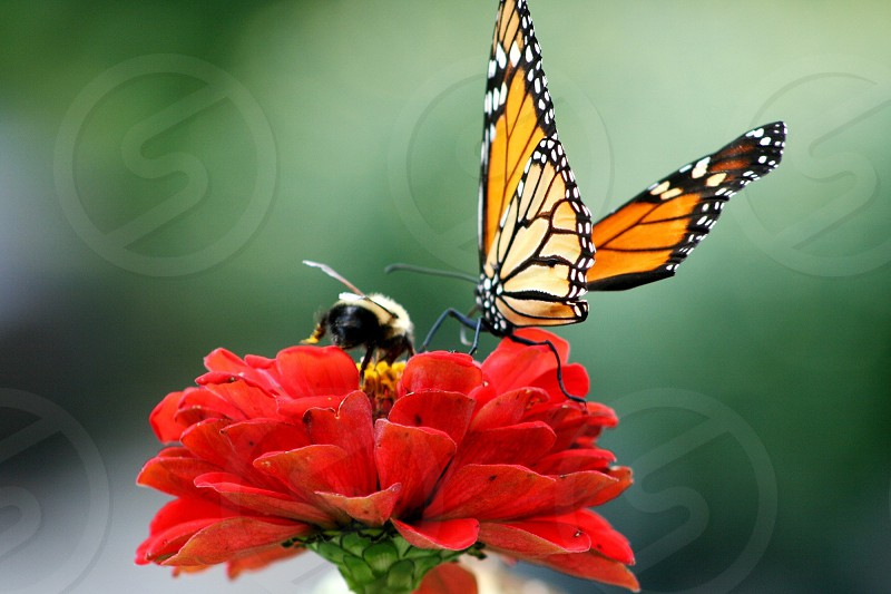 monarch butterfly perched on red petaled flower in closeup photography photo