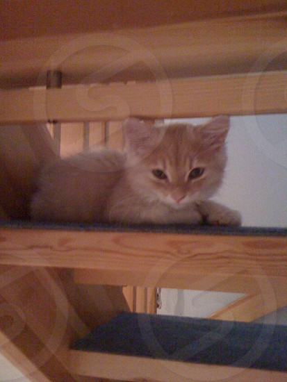 orange kitten lying on brown wooden stairs photo