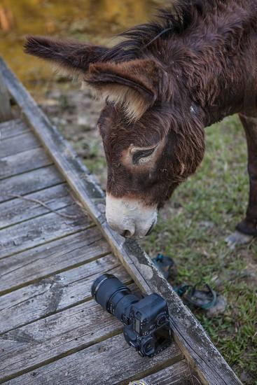 Donkey and a camera photo