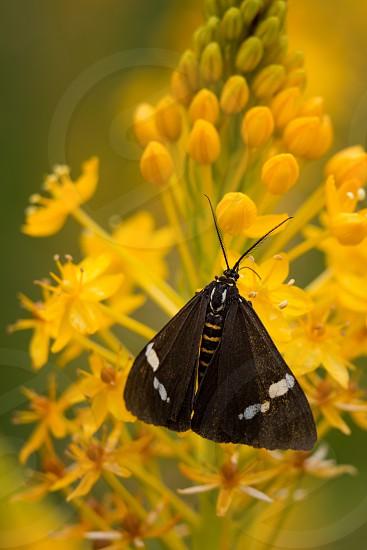 A magpie moth photo