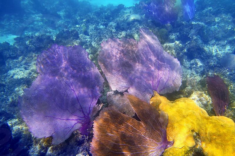 gorgonian sea fan purple coral in carribean underwater photo