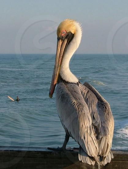 pelican surfer story surfing bird funny curious sea ocean water aware gaze watchful ready man sport outdoors exterior photo