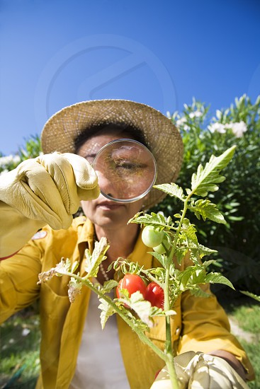 senior woman; magnifying glass; looking; tomatoes; plant; magnification; inspecting; yard; garden; gardening; hobbies; vegetables; growth; color image; photography; outdoors; day; vertical; front view; head and shoulders; casual clothing; magnifying; holding; single object; tomato plant; blue sky; retirement; hat; focus on foreground; one person; one senior woman only; senior adult; senior adult woman; 60s; Italian ethnicity; copy space; leisure; leisure activity; woman; domestic life; food;  photo