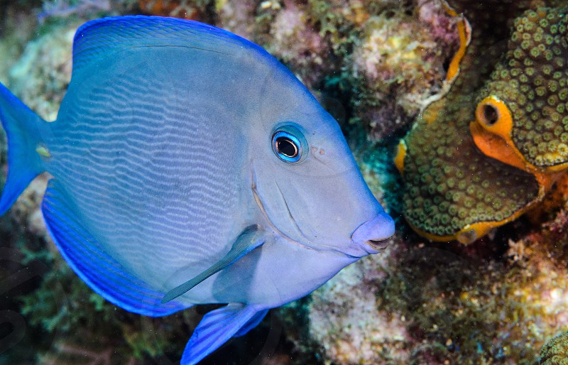 A blue tang on a Florida reef. photo