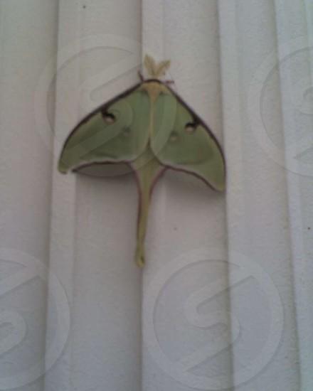 Luna moth on a porch column. photo