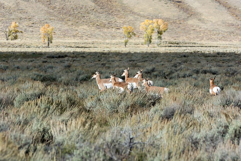 Pronghorn (Antilocapra americana) photo