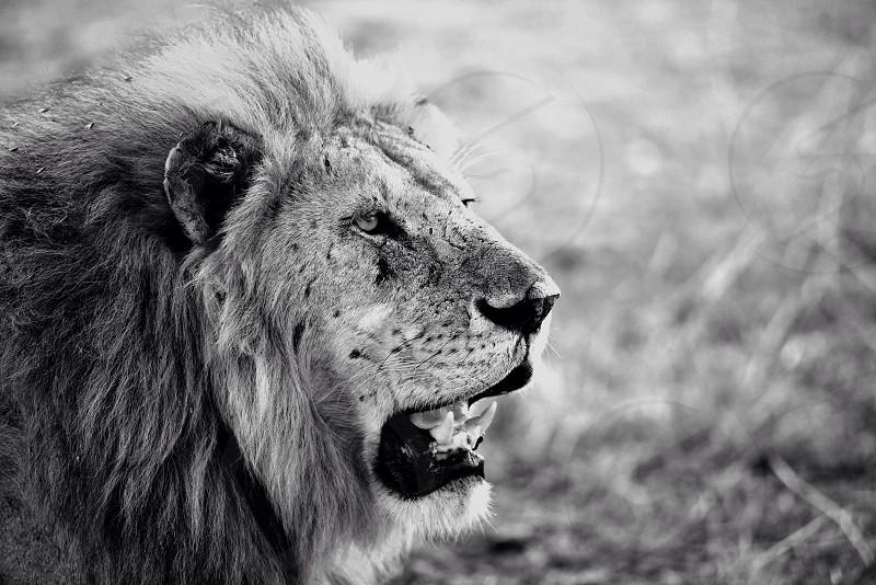 Lazy Lion - Serengeti National Park - Tanzania photo