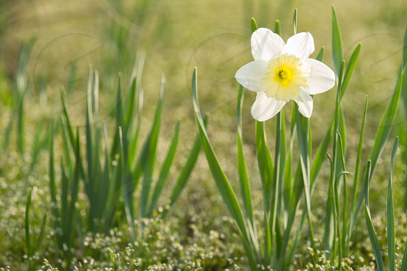 A lone daffodil bloom in the spring photo