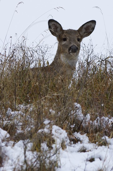 Snow Deer photo