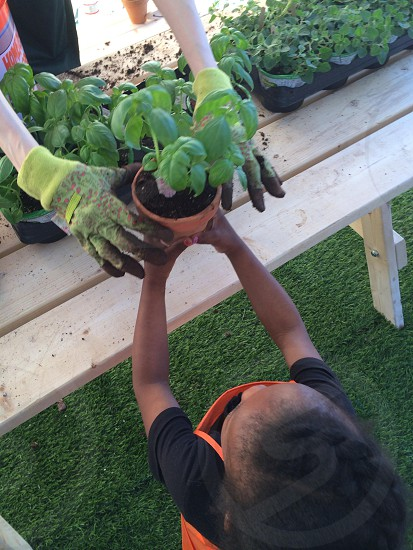 Adult Gardener hands a basil plant to a child photo