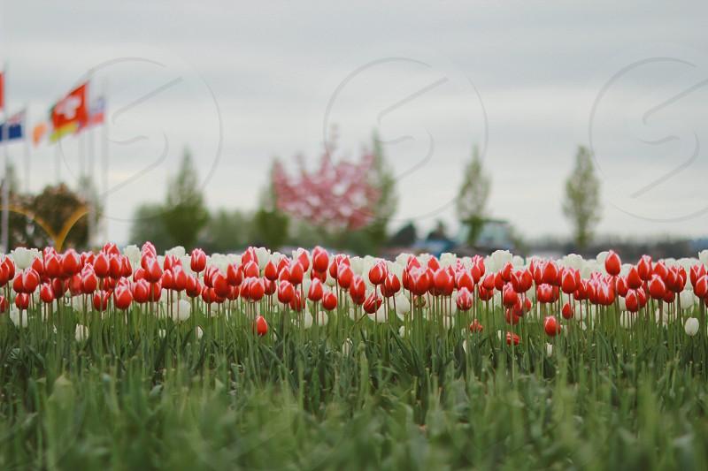 Tulip single Spring flower gardening landscape bloomed? Row of tulips farm photo