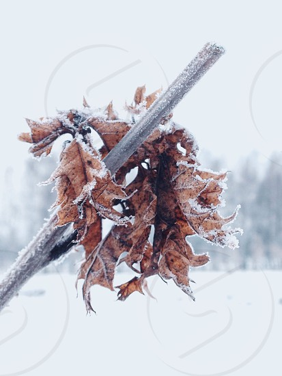 frozen brown dry leaves on a stick in a snow covered field photo