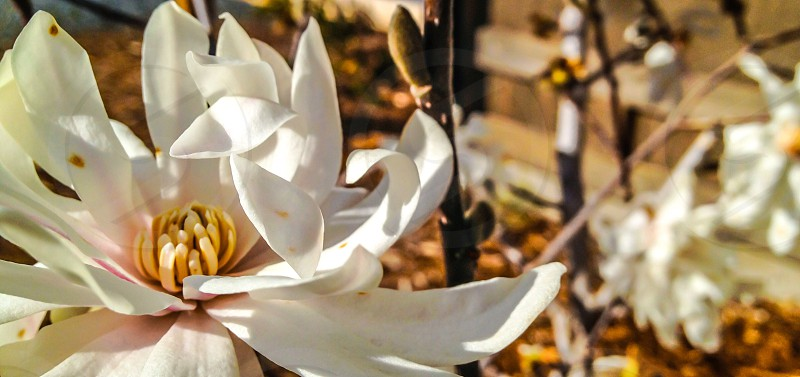 White flower pedals soft backdrop  photo