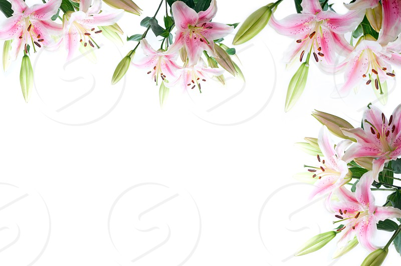 lily flowers composition frame over white copyspace photo