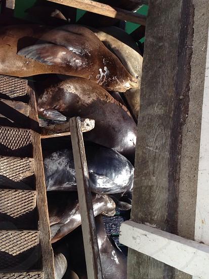 Seals at Avila Pier CA. photo
