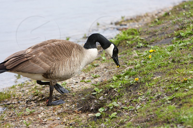 Goose eating a dandelion photo