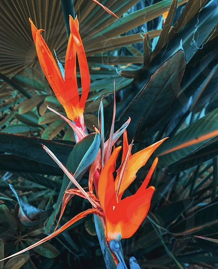Bird of paradise #plants #flowers #art #colorful #outdoors #nature  photo