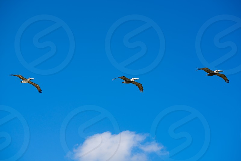 Caribbean pelicans flying in a row at Mexico photo