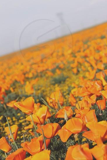 Orange poppy field  photo