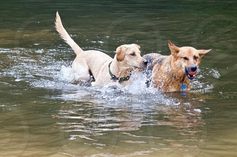 labrador retriever and german shepherd play in the creek photo