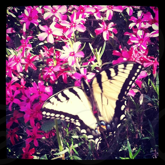 tiger swallowtail butterfly on pink flower photo