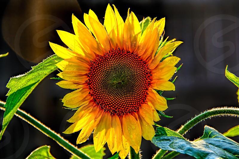 Wild Sunflower  photo