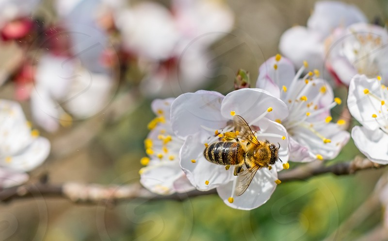 Bee at work on a apricot blossom during spring photo