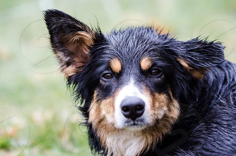 Border collie working in the rain. photo