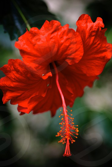 red hibiscus in bloom photo
