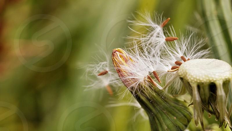Seed dandelion nature natural plants photo