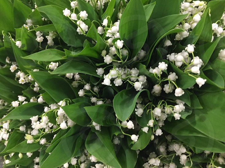Lilies of the valley flowers white green spring room for copy photo